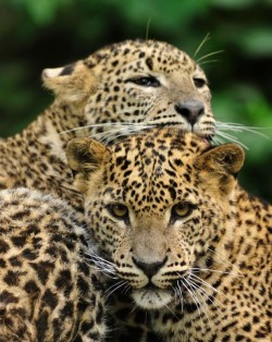 Leopards - Sri Lanka